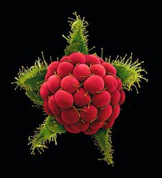 Wild raspberry, Rubus phoenicolasius, a photo in closeup by Rob Kesseler