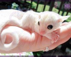 Leucistic or BEW (Black-eyed White) Sugar Glider Cute Funny Animals, Cute Baby Animals, Animals And Pets, Sugar Glider Care, Sugar Gliders, Guinea Pig Toys, Guinea Pigs, Sugar Bears, Sugar Sugar