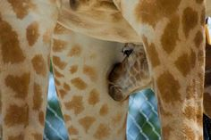 1000+ images about ~♥~ I HEART GIRAFFES! ~♥~ on Pinterest ... - photo#21