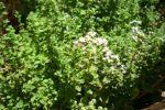 Μποστανάκι στο μπαλκόνι: βότανα και αρωματικά   Θέματα   Bostanistas.gr : Ιστορίες για να τρεφόμαστε διαφορετικά Parsley, Herbs, Garden, Plants, Garten, Lawn And Garden, Herb, Gardens, Plant