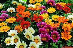 Bulk Gazania Seeds Garden Leader Mix