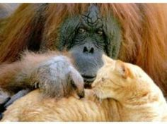 Which is your favorite Animal Odd couples pic? Odd Animal Couples, Odd Couples, Are You My Mother, Unlikely Friends, Unusual Animals, Norwegian Forest Cat, Animal Kingdom, Mammals, Baby Animals