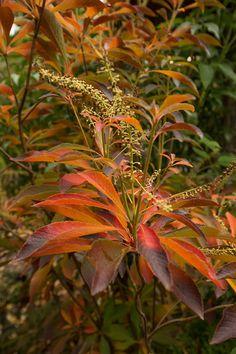 Clethra Barbinervis Japanese Clethra  Zone 5-8