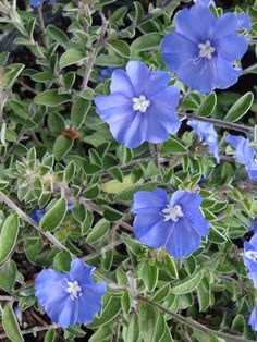Evolvulu glomeratus (Blue Daze) blooms May to October, needs good drainage
