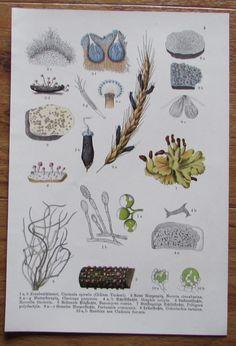 Botanischer Druck - Pflanzen Botanik Druck Atlas des Pflanzenreichs ca. 1920 4 Herbalism, Ebay, Botany, Art Print, Printing, Plants, Herbal Medicine