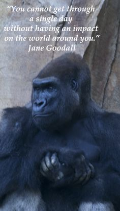 """""""You cannot get through a single day without having an impact on the world around you."""" Jane Goodall -- Gorilla at OMAHA'S HENRY DOORLY ZOO – Explore article on Traveler's Choice List of America's Top Zoos to view TripAdvisor's nationwide list of """"10 + 1 Top American Zoos"""" at http://www.examiner.com/article/traveler-s-choice-list-of-america-s-top-zoos"""