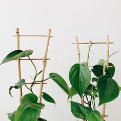 leaf supply - bamboo Garden Trellis, The Help, Plant Leaves, Bamboo, Plants, Beautiful, Instagram, Plant, Planting