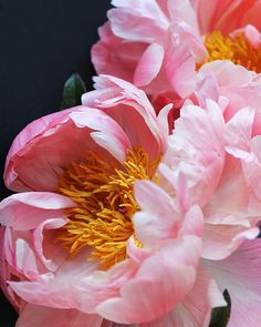 Due peonie rosa IV Amazing Flowers, My Flower, Flower Art, Beautiful Flowers, Macro Flower, Art Floral, Floral Photography, Pink Peonies, Peony