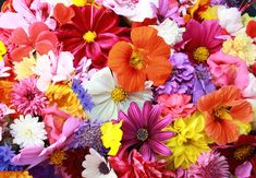 Fresh Origins grows over 60 varieties of Edible Flowers. Edible flowers are not only beautiful to look at, they can add an interesting range of tastes as well! In addition to our fresh edible flowers, we have Crystallized Flowers. Hd Flowers, Edible Flowers, Colorful Flowers, Spring Flowers, Beautiful Flowers, Rainbow Flowers, Flower Background Wallpaper, Flower Backgrounds, Flower Images