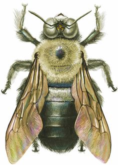 bee scientific illustration - Google Search