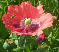 Red TULIP POPPY Papaver Glaucum Plant -25 Seeds- Beautiful Flowers