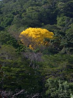 For a few days each year, emerging from the dense green of the intact rainforest, dozens of astonishingly yellow Tabebuia trees burst into bloom. Or at least, this is what happens in the few areas where large expanses of rainforest still remain. Support us and help protect the wonders of these shrinking forests.