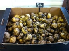 A fresh crop of potatoes dug up from the Kitchen Garden at Charlton Manor Primary School.