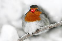 Rudolph the Rednose Robin by Roeselien Raimond, via 500px