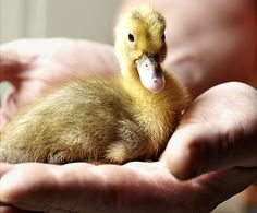 Duck keeping for beginners  - countryliving.co.uk. Cute!