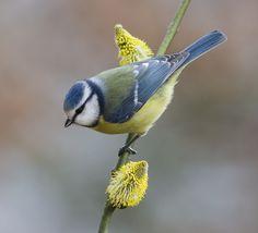 Superb Nature - kohalmitamas: Blue tit on goat willow by. Cute Birds, Pretty Birds, Beautiful Birds, Animals Beautiful, Blue Tit, British Wildlife, Tier Fotos, Bird Pictures, Little Birds
