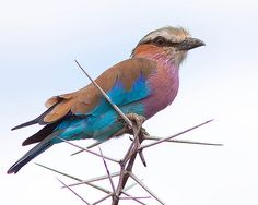 Rolieiro-de-peito-lilás / Lilac-breasted Roller | Flickr - Photo Sharing!
