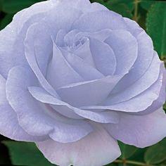Pale blue rose  Blue Satin Rose.  Fragrant hybrid tea rose.