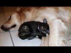 (729) Super Cute Kitten Cuddling With Big Sleepy English Cream Golden Retriever Dog - 7 Weeks Old - YouTube