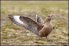 Great Skua.jpg (748×502)