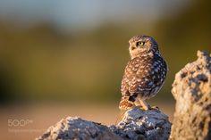 Little Owl by Uriarte #animals #animal #pet #pets #animales #animallovers #photooftheday #amazing #picoftheday