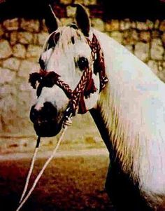 Negatiw (Naseem x Taraszcza) A 1945 Russian bred stallion who is the source of the Ibrahim line in Russia and Poland.