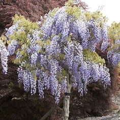 Black Dragon Wisteria - Direct Gardening