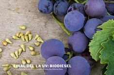 MENCIÓN EXTRAORDINARIA -  Final de la uva: biodiesel - Equipo Biodiesel. IES Ramón y Cajal (Albacete). 3º ESO. Coordinado por Consuelo Wic Baena Blueberry, Fruit, Food, Research Projects, Raw Materials, Berry, Essen, Meals, Yemek