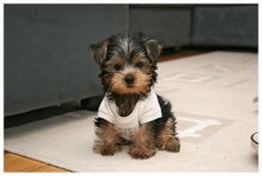 Yorkie in a t-shirt