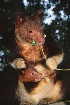 Tree Kangaroo & Baby