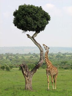"Giraffe In Kenya ...""Still NOT LONG ENOUGH?! Damn""."