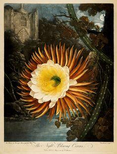 """The Night-Blowing Cereus"" (1807)"
