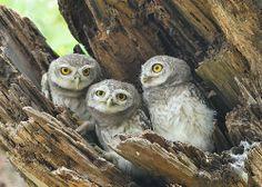 Spotted Owlets by Michael Tay | Flickr
