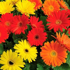 Proven Winners EZdazy Salsa Mix (Gerbera) Live Plant, Red, Orange, or Yellow Flowers, in. Orange Flowers, Cut Flowers, Colorful Flowers, Evergreen Garden, Proven Winners, Plant Needs, Gerbera, Types Of Plants, Live Plants