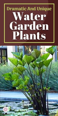 Find all the best aquatic plants for your pond or water feature. #PondPlants #WaterGardenPlants #AquaticPlants #PondPlantTypes Water Garden Plants, Pond Plants, Aquatic Plants, House Plants, Container Pond, Container Water Gardens, Koi Ponds, Small Ponds, Landscape Designs