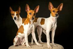 If you're looking for a low-maintenance but energetic, family-friendly dog who loves the outdoors, you'll find it in the Rat Terrier. Rat Terrier Puppies, Toy Fox Terriers, Terrier Breeds, Cute Puppies, Cute Dogs, Dogs And Puppies, English White Terrier, Family Friendly Dogs, Smooth Fox Terriers