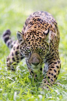 Approaching serious jaguar (by Tambako the Jaguar)
