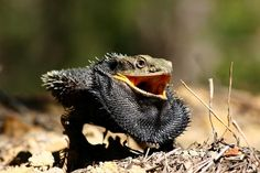 Bearded Dragon in the wild* Eastern Bearded Dragon, Bearded Dragon Funny, Bearded Dragon Habitat, Bearded Dragon Diet, Animals And Pets, Baby Animals, Winged Serpent, Meal Worms, Baby Dragon