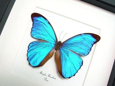 Real Blue Morpho Butterfly Museum by REALBUTTERFLYGIFTS on Etsy, $54.99