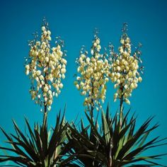 Yucca Filamentosa, Tropical, Exterior, Fruit, Decor, Medicine, Plants, Salads