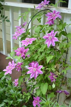 How to Grow Clematis successfully - Flower Patch Farmhouse - Killian Donahue Clematis, How to Grow Clematis and care for them for maximum bloom - Clematis Care, Clematis Trellis, Clematis Plants, Clematis Flower, Purple Clematis, Climbing Flowers Trellis, Flower Trellis, Climbing Vines, Shade Perennials