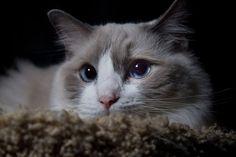 blue bi-color ragdoll cat
