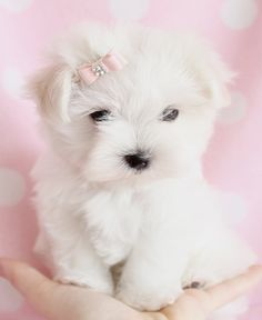 Adorable Maltese Puppy by TeaCups Puppies & Boutique. Wish tea cups were not so wrong  They are cruel to be brought into this world....not to be