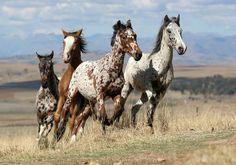 Appaloosa Mustang paard Paarden