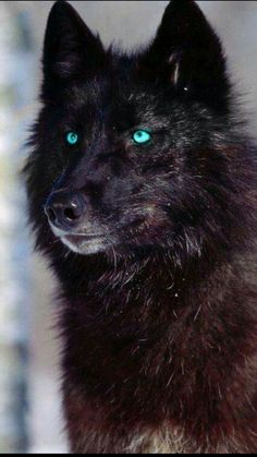 Loup Noir aux yeux bleus_Black Wolf with blue eyes Wolf Spirit, My Spirit Animal, Wolf Pictures, Animal Pictures, Wolf Images, Beautiful Creatures, Animals Beautiful, Wolf With Blue Eyes, Wolf Eyes