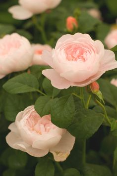 'The Albrighton Rambler' has small, cup-shaped, perfectly formed flowers of softest pink that pale to blush. The petals are beautifully arranged with a little button eye; the overall appearance being one of exceptional prettiness and charm. The blooms are held in large sprays and hang gracefully on the branch.