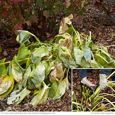 How to clean up your garden in fall: Clean up these 3 perennials in fall for the best start in spring! Hosta Plants, Fall Plants, Hosta Care, Fall Perennials, Fall Clean Up, Plant Cuttings, Garden Maintenance, Garden Care, Autumn Garden