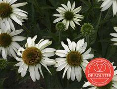 Biologische echinacea white swan is een sterke plant. Geschikt voor de border en als snijbloem. Online verkrijgbaar bij De Bolster