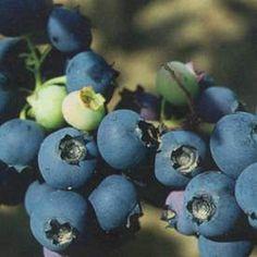 Hybridblåbär 'Emil'