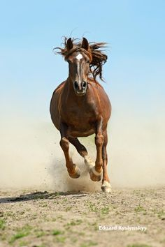 Gorgeous horse running swiftly toward you!!  Watch out!!
